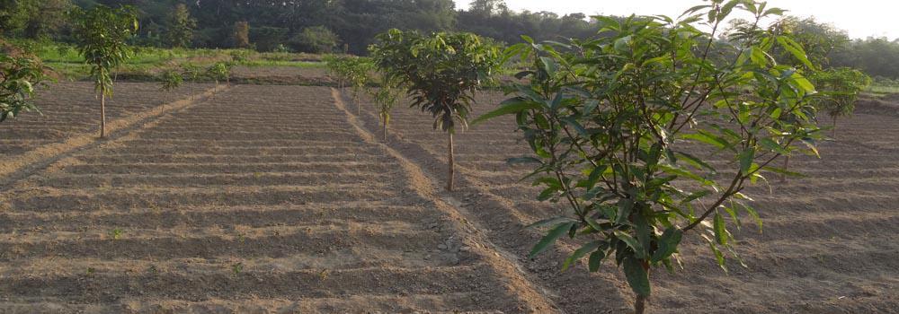 amrapali plantn at kalamkai under Dakshin Brajendranagar ADC Village